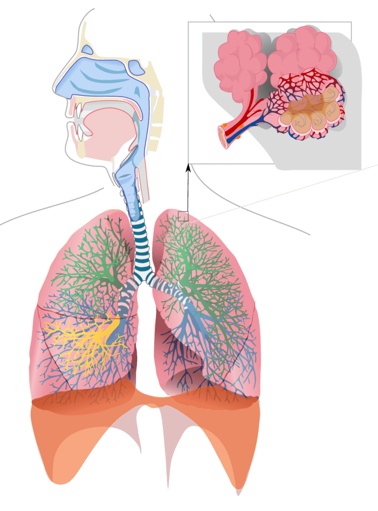Lungs-wiki